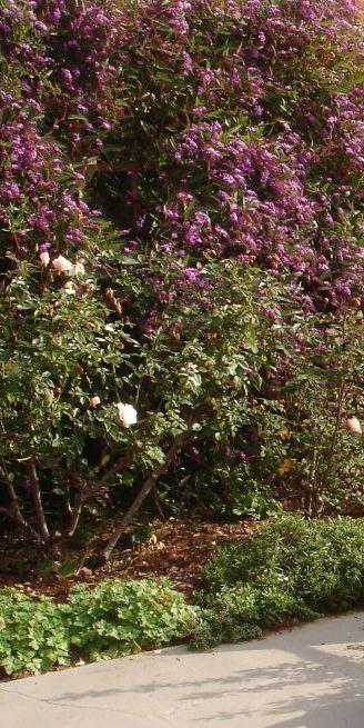 Hardenbergia Iceberg Hardy Geranium