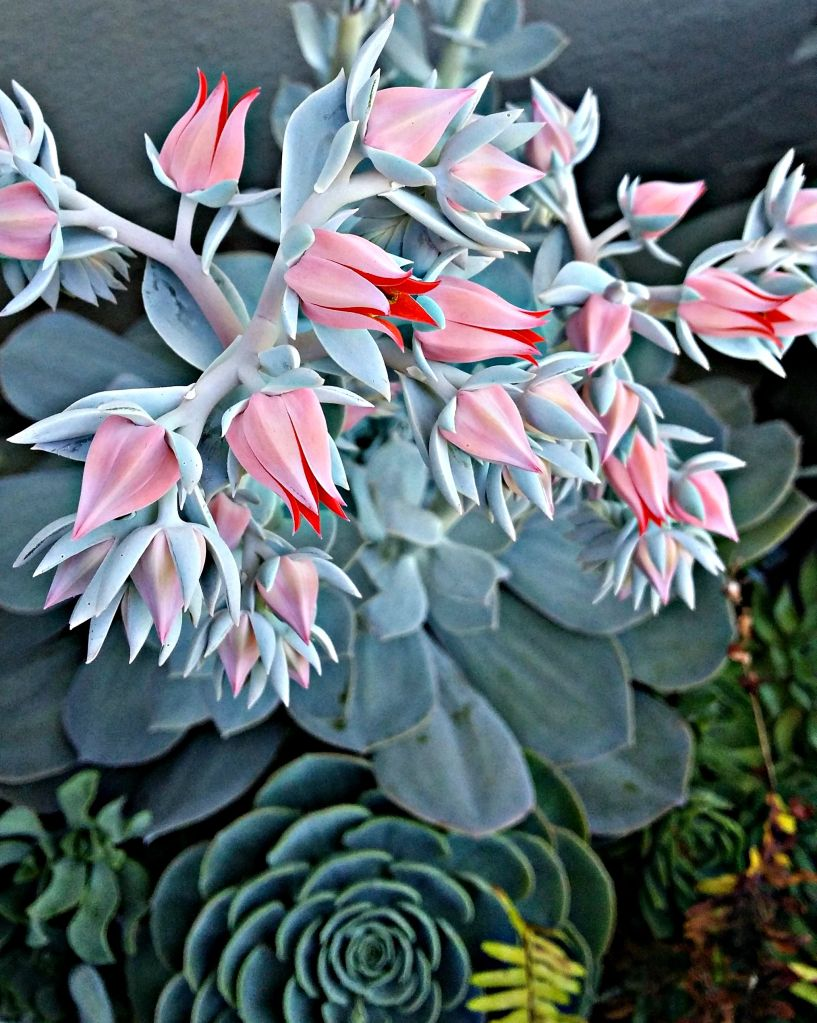 Echeveria 'Encantada' in Bloom