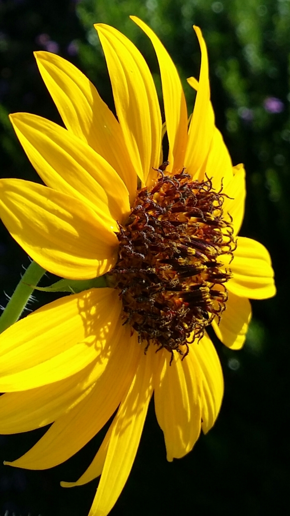Helianthus annuus (Delta Sunflower or Common Sunflower)