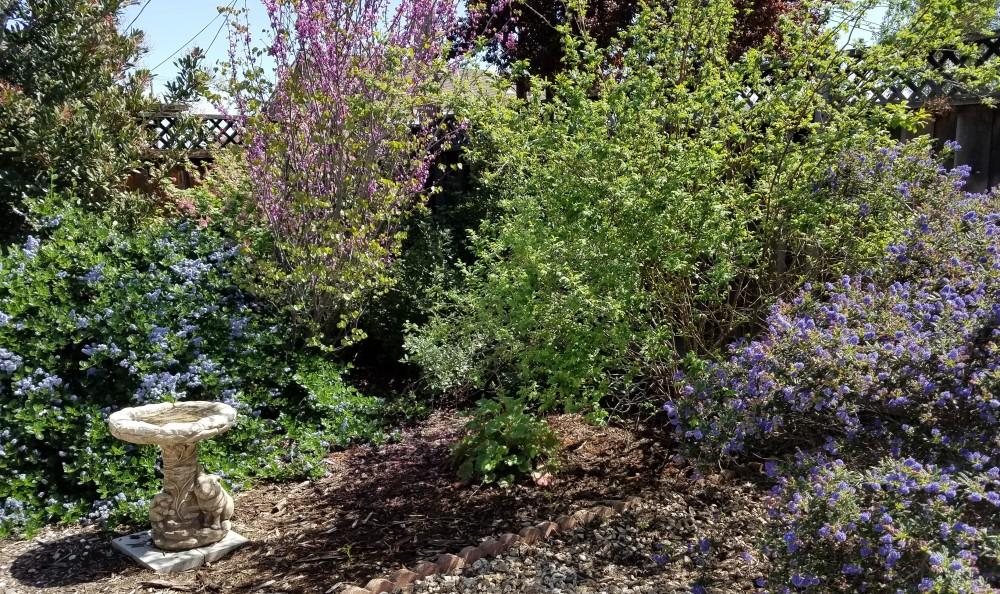 From Left to Right: Ceanothus 'Yankee Point,' Western Redbud, California Wild Rose, Ceanothus 'Dark Star'