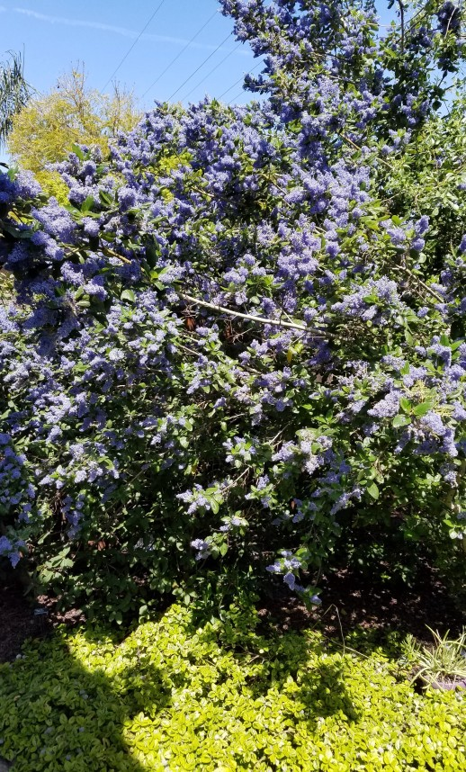 Blooming California Native Wild Lilac 'Ray Hartman' and California Native Ceanothus 'Diamond Heights' Variegated Carmel Creeper Below as Groundcover