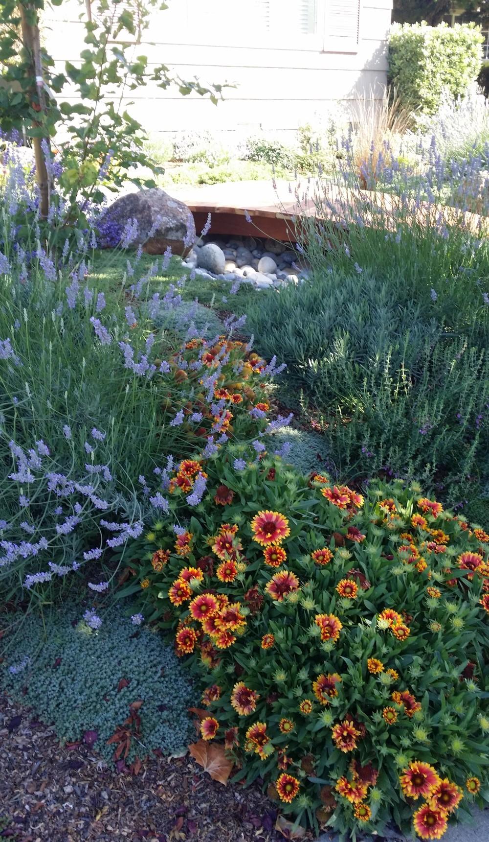 Landscape Rebate Garden San Jose CA Dry Creek and Lavender Apricot Germander Gaillardia
