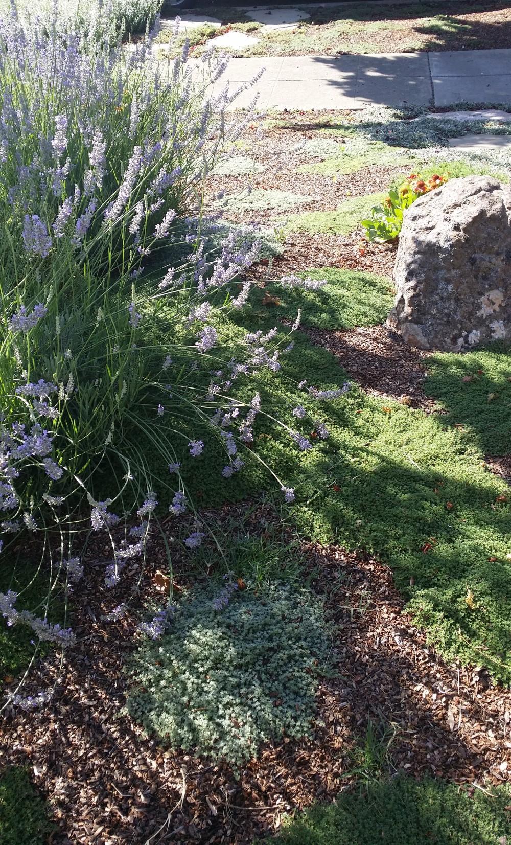 Landscape Rebate Garden San Jose CA Lavender Creeping Thyme Wooly Thyme Low Water Landscape