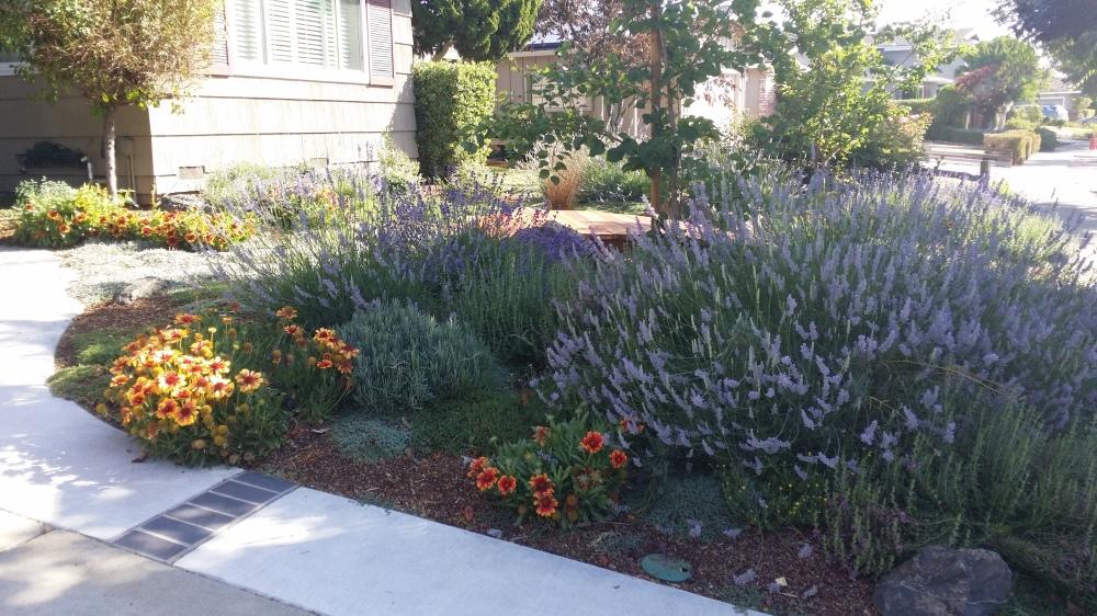 Landscape Rebate Garden San Jose CA Lavender Dymondia Apricots Germander