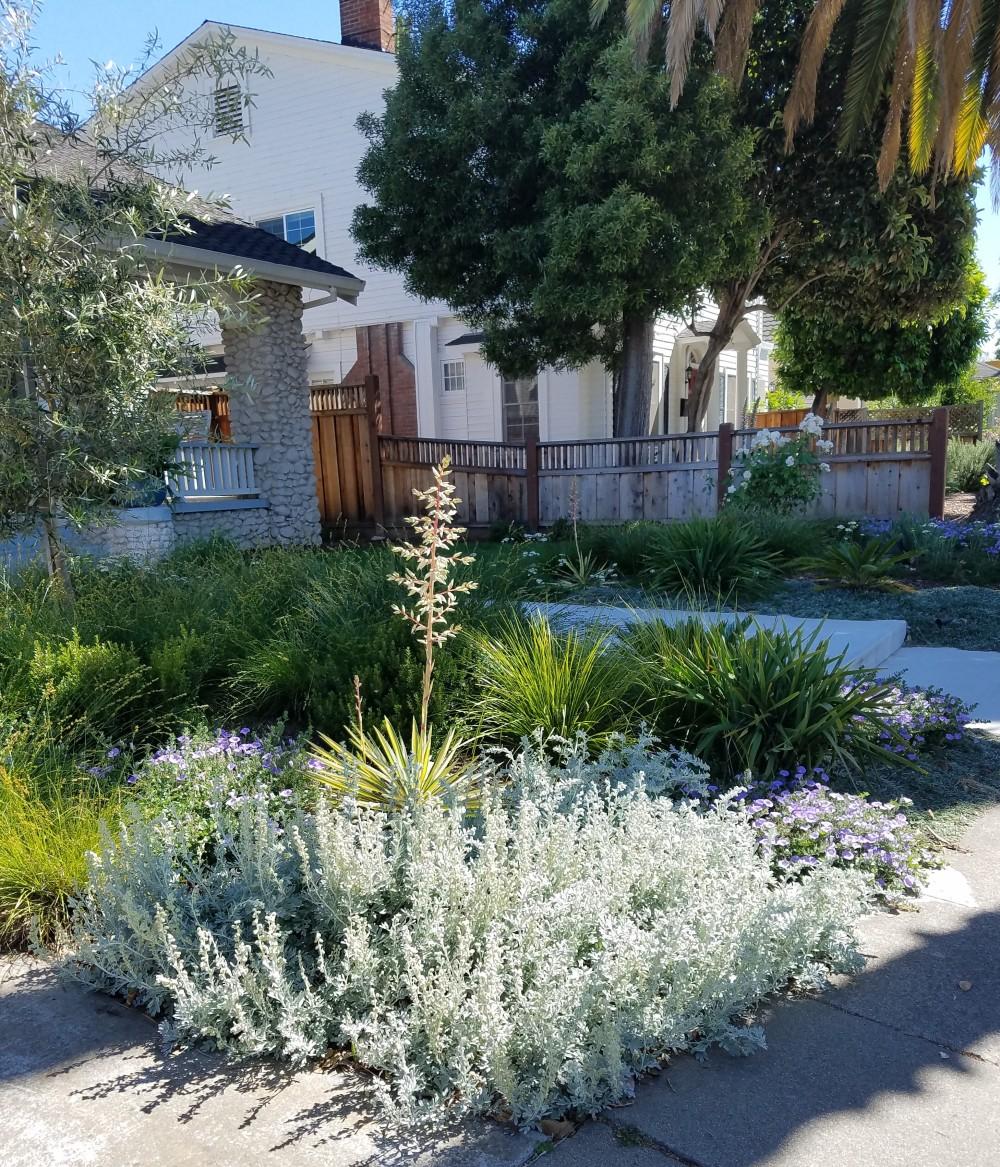 Lush and Low Water Modern Garden Path Hanchett Park San Jose CA Dymondia Groundcover Olive Tree Lomandra longifolia 'Breeze'